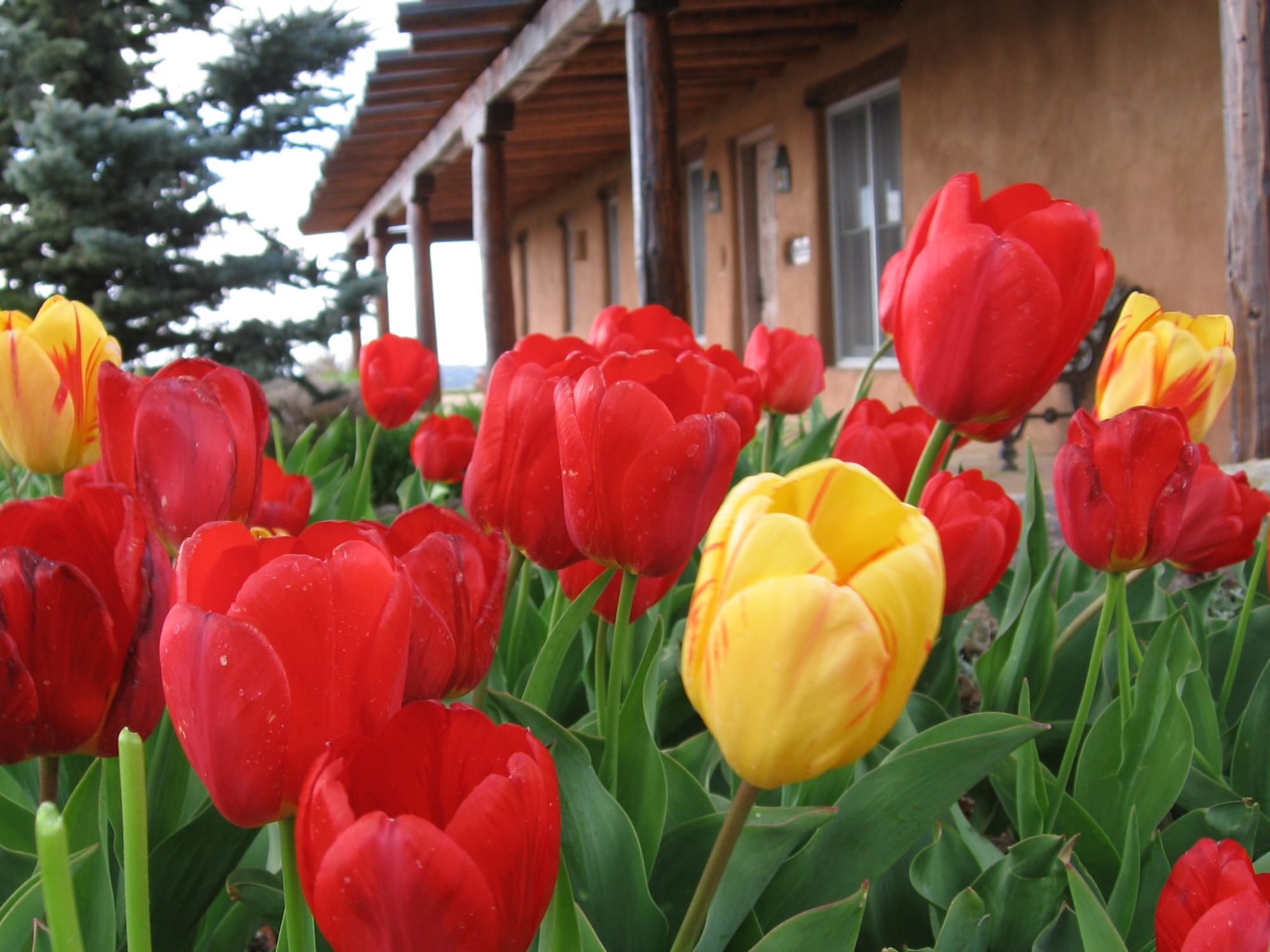 SHERWOOD TULIPS 4